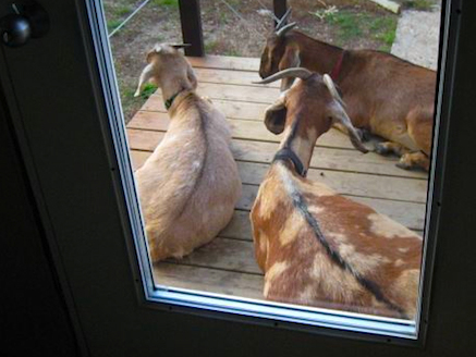 goats_on_the_porch